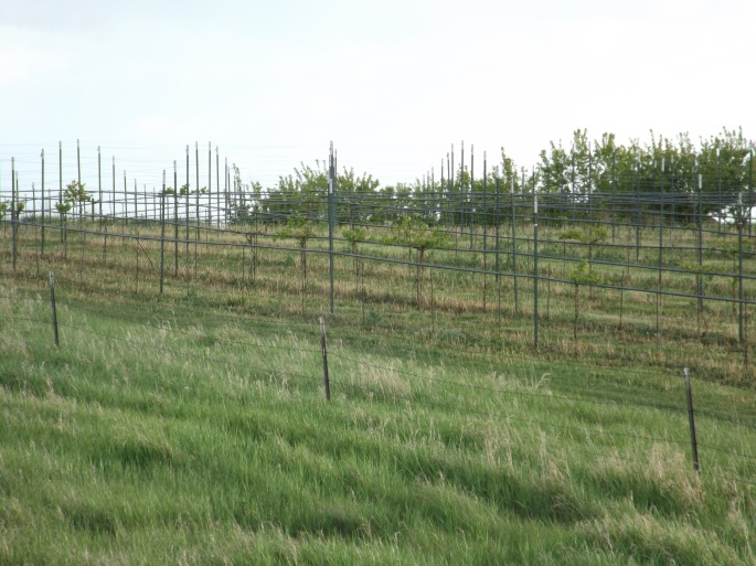 The Duppong vineyard and orchard, across the road from the church.